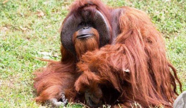 Помер орангутанг, що розмовляв жестами
