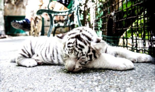 Білих тигрів стало більше
